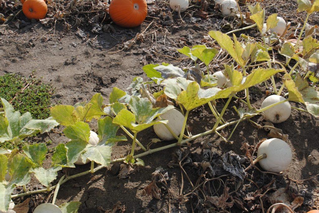 Seven Oaks Pumpkin Patch - Central Point - Oregon