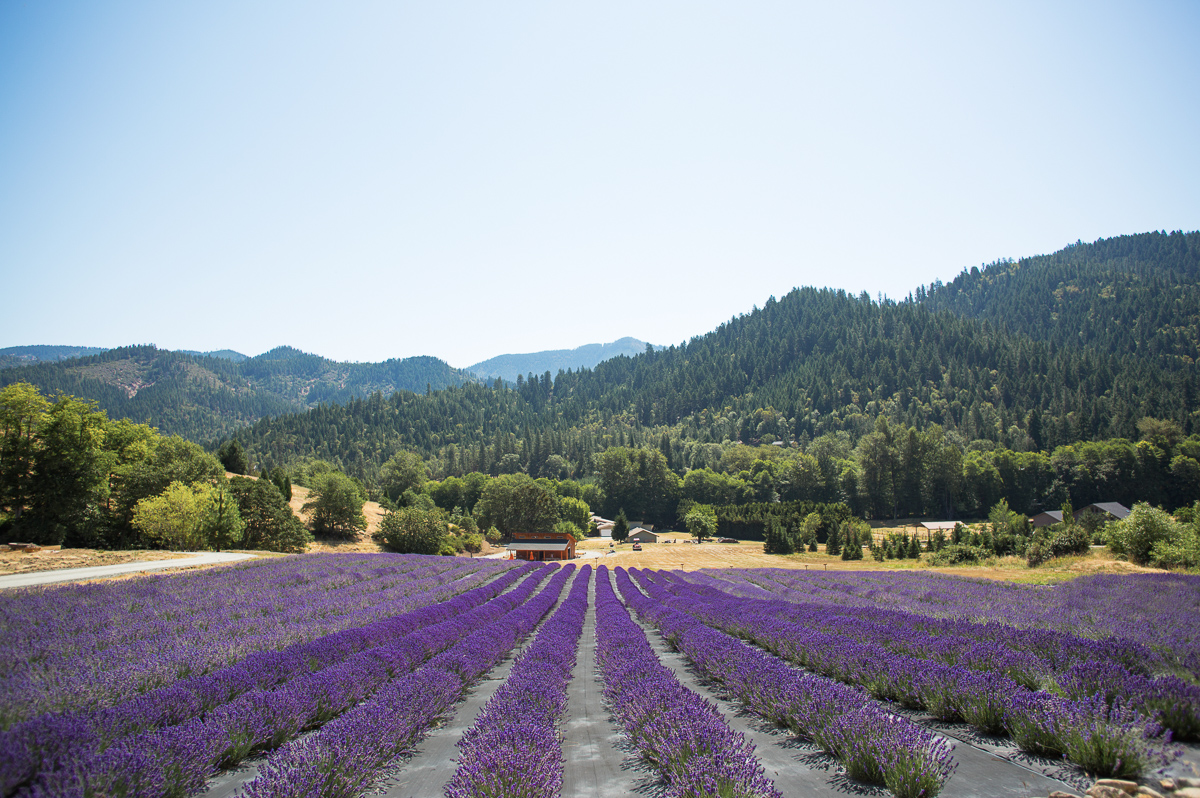 The English Lavender Farm in Applegate, Oregon